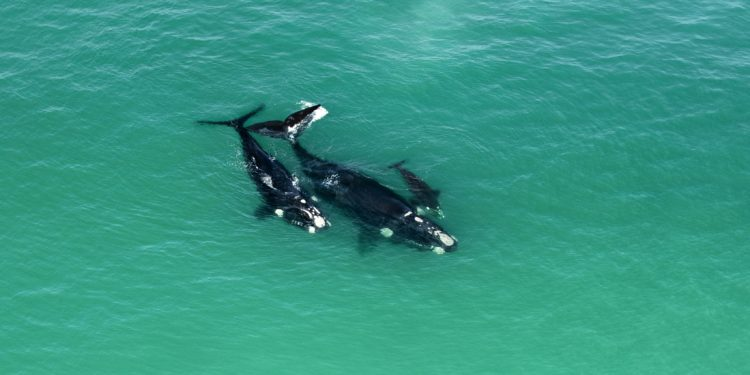 Southern Right Whales.