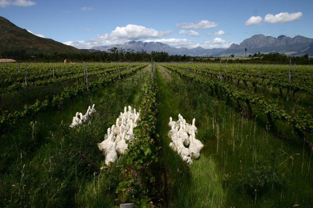 Ducks in the vineyard (Large)