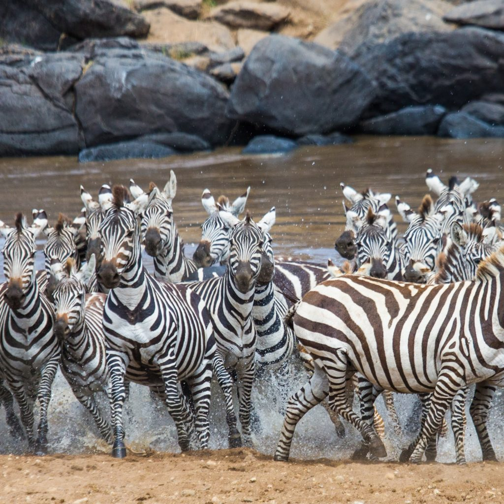 Serengeti Explorer Camp_Zebra Crossing